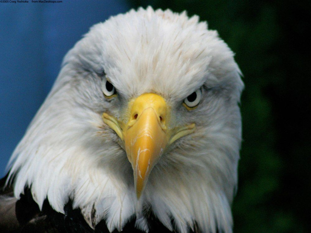 bald_eagle-jide-salu