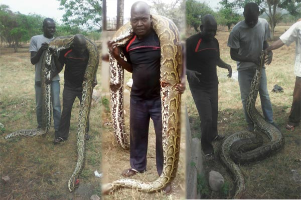 Policemen guarding president Museveni's farm in Kisozi, Gomba District on Wednesday shot and killed a python. Courtesy photos